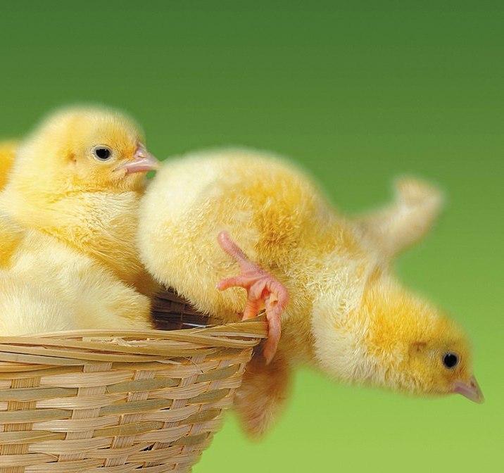 Картинка цыплята прикол